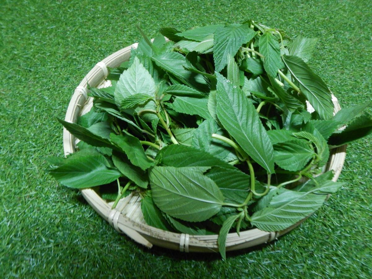 モロヘイヤの美味しい食べ方や下処理の方法!茎の毒は?生で食べれる?