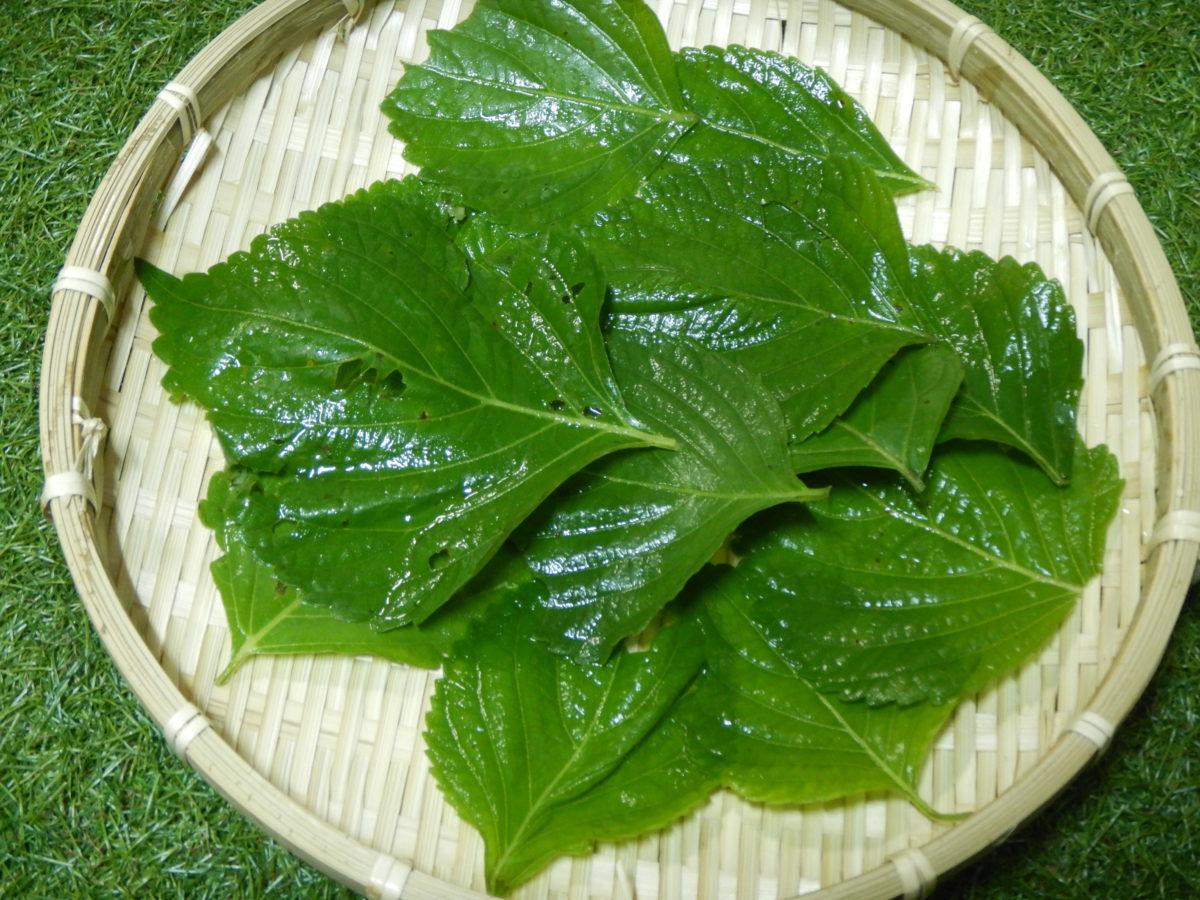 えごまの葉の味は?保存法や美味しい食べ方とは?漬物や肉巻きに?