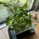 コリアンダーの育て方!種まき・栽培・収穫を行ったので過程を紹介!