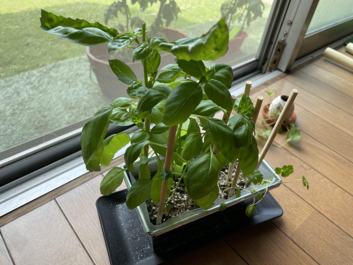 バジルの育て方!種まきから栽培方法を全て紹介!時期はいつがいい?